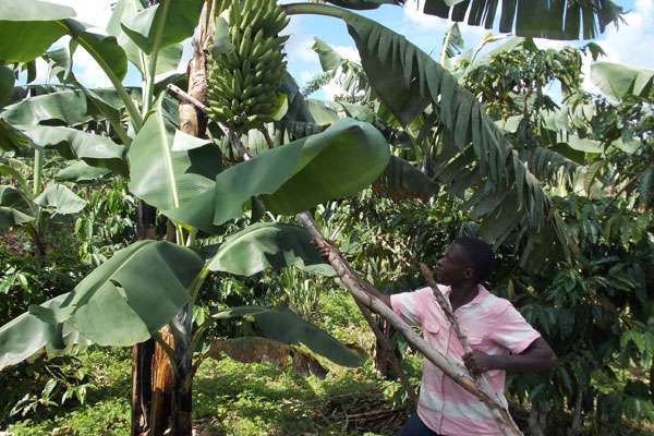 Miwanda props up a banana plant on his farm. Photo BY Michael J Ssali